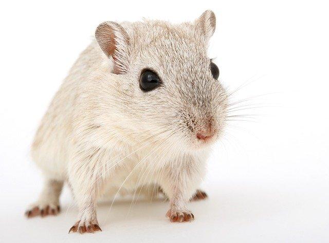 Comble souris