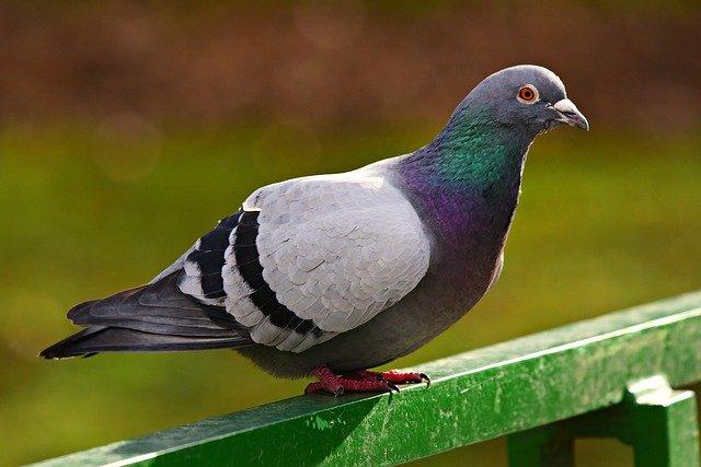 Pigeon roux